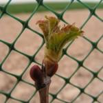 Viorne-obier