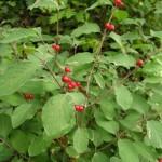 Camérisier à balais (Lonicera xylosteum)