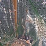Chevrefeuille-des-haies
