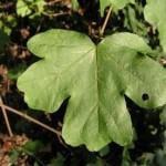 Erable champêtre (Acer campestre)