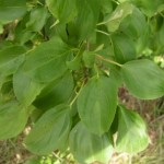 Nerprun purgatif (Rhamnus catharticus)