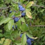 Prunellier (Prunus spinosa)