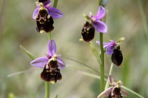 ophrys abeille - A Laurent