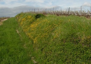 Un talus viticole bien géré peut permettre de lutter contre l'érosion des sols. Cr: J-Miroir