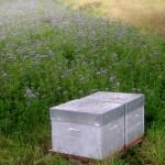 Jachère apicole ou mellifère