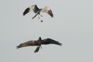 Echange de proie entre le mâle et la femelle buzard